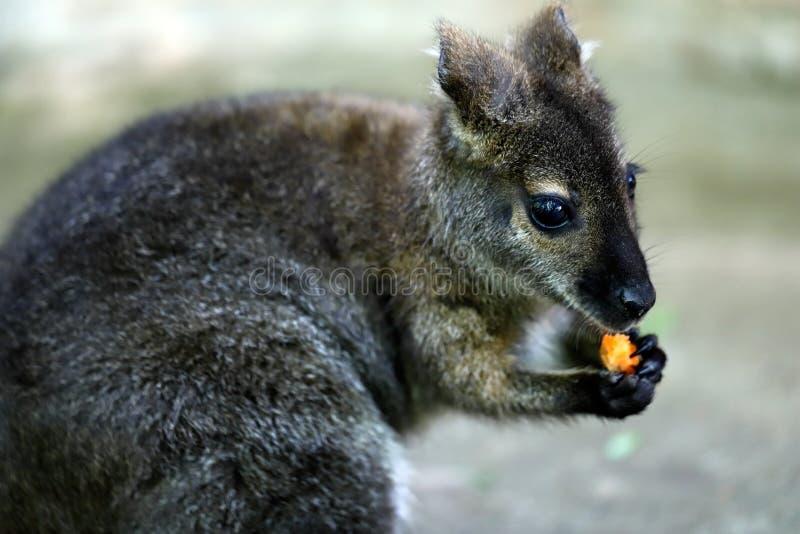 Ο Joey τρώει το καρότο στοκ φωτογραφία