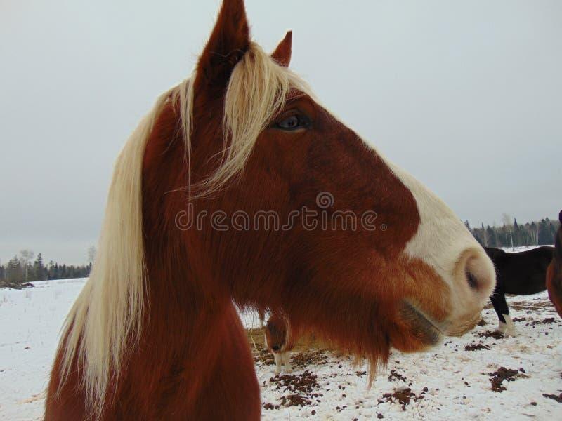Ο Mike το 19χρονο άλογο σχεδίων απολαμβάνει μια ημέρα χιονιού στοκ φωτογραφία με δικαίωμα ελεύθερης χρήσης