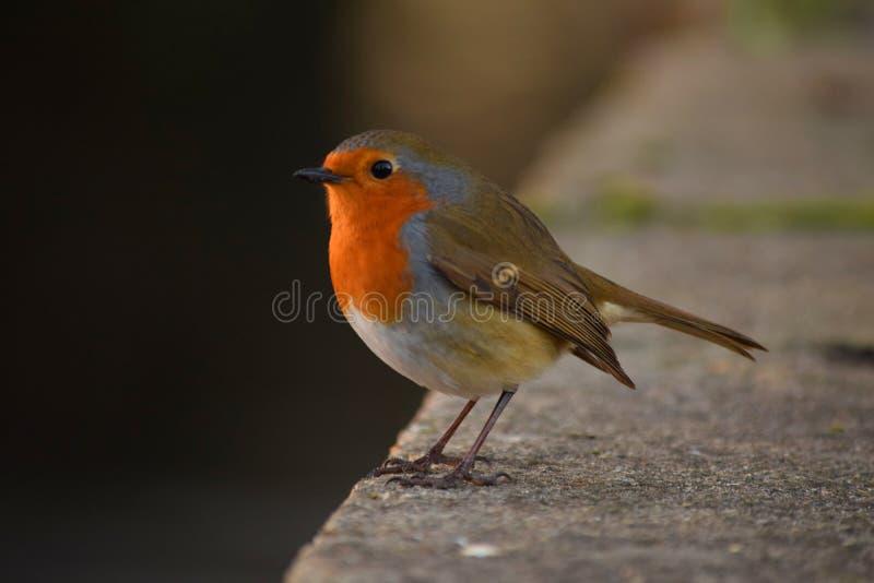 Ο Robin στοκ φωτογραφία με δικαίωμα ελεύθερης χρήσης