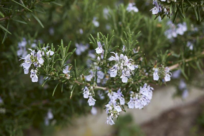 Ο Rosmarinus officinalis σε άνθιση στοκ φωτογραφίες με δικαίωμα ελεύθερης χρήσης