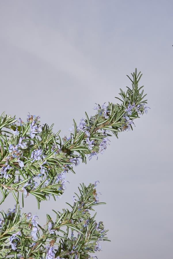 Ο Rosmarinus officinalis σε άνθιση στοκ εικόνα
