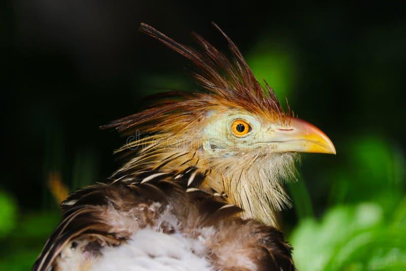 Ο Shaggguira cuckoo σε παράθεση στοκ εικόνες