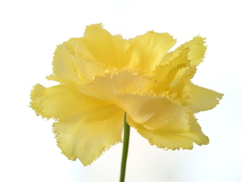Ο Terry πλαισίωσε τον κίτρινο εξωτικό ήλιο τουλιπών σε ένα απομονωμένο υπόβαθρο στοκ φωτογραφία με δικαίωμα ελεύθερης χρήσης