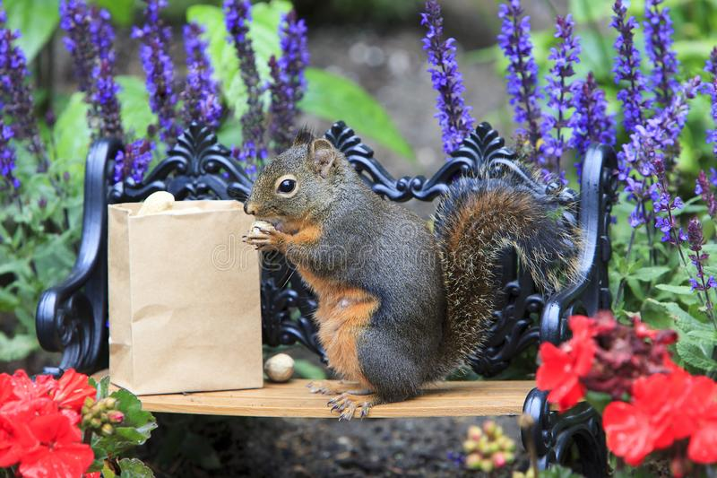 Πάγκος πάρκων συνεδρίασης σκιούρων Ντάγκλας που τρώει το φυστίκι στοκ φωτογραφία με δικαίωμα ελεύθερης χρήσης