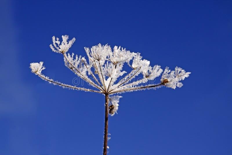 Download πάγος κρυστάλλων Umbellifer Στοκ Εικόνα - εικόνα από άσπρος, φυτό: 13177405