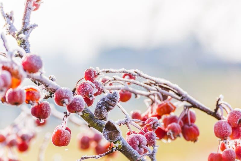 Πάγος στα κόκκινα μούρα στοκ φωτογραφίες