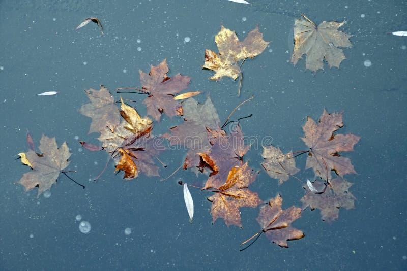 Πάγος στην επιφάνεια της λίμνης Τα πεσμένα φύλλα είναι παγωμένα σε πάγο Δεκέμβριος Πρώιμος χειμώνας χωρίς χιόνι στοκ εικόνα