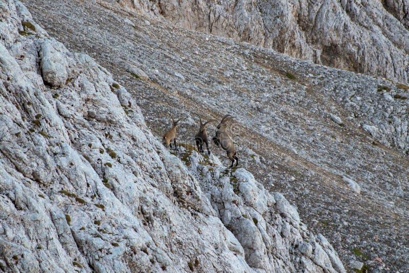 Πάλη δύο αγριοκάτσικων στα βουνά στοκ εικόνες