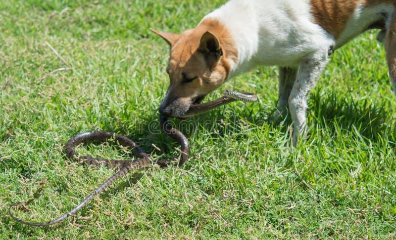 Πάλη σκυλιών με τα φίδια στοκ φωτογραφία