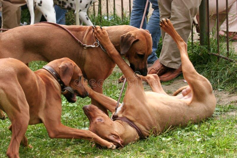 πάλη σκυλιών στοκ φωτογραφίες