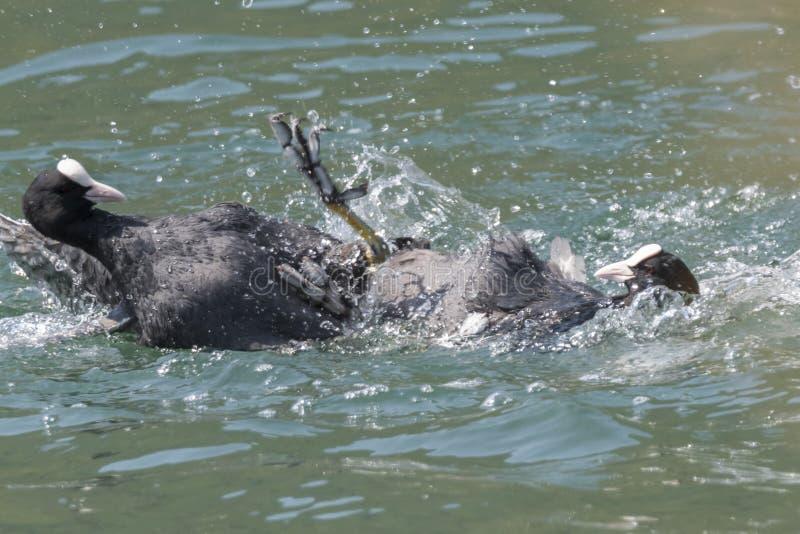 Πάλη φαλαρίδων στη λίμνη στοκ φωτογραφία