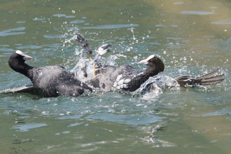 Πάλη φαλαρίδων στη λίμνη στοκ φωτογραφίες