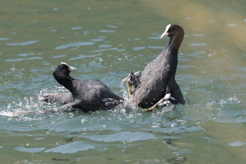 Πάλη φαλαρίδων στη λίμνη στοκ εικόνα