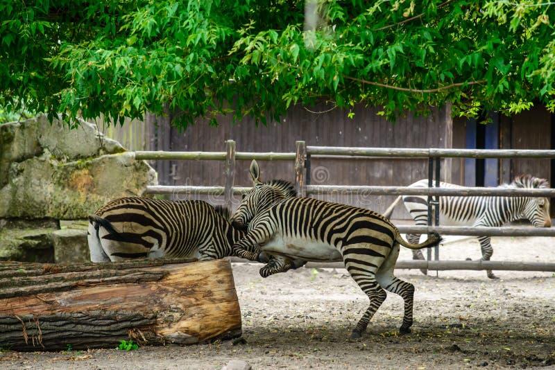 Πάλη Zebras στο ζωολογικό κήπο στοκ εικόνες