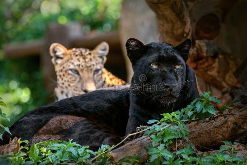 Πάνθηρας ή λεοπάρδαλη σε φυσικό στοκ εικόνες