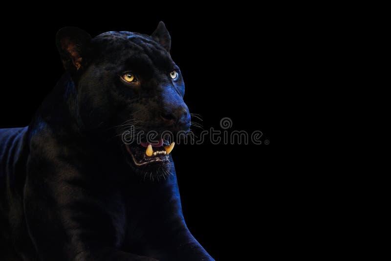 Πάνθηρας με σε ένα μαύρο υπόβαθρο στοκ εικόνες με δικαίωμα ελεύθερης χρήσης