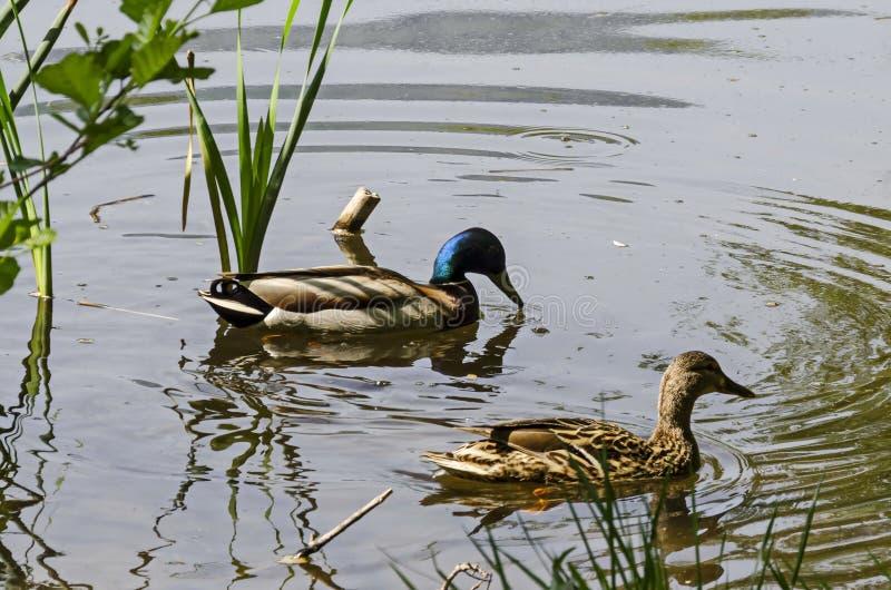 Πάπια και θηλυκή πάπια πρασινολαιμών που κολυμπούν στη λίμνη, νότιο πάρκο στοκ φωτογραφία με δικαίωμα ελεύθερης χρήσης