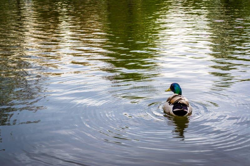 Πάπια και κυματισμοί στη λίμνη στο πάρκο Patterson, Βαλτιμόρη, Maryl στοκ φωτογραφίες