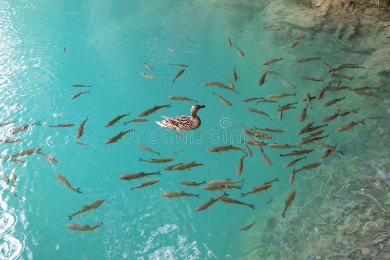 Πάπια και ψάρια στο σαφές νερό στοκ φωτογραφία με δικαίωμα ελεύθερης χρήσης