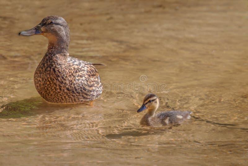 Πάπια με το νεοσσό στα ρηχά νερά στοκ εικόνα με δικαίωμα ελεύθερης χρήσης