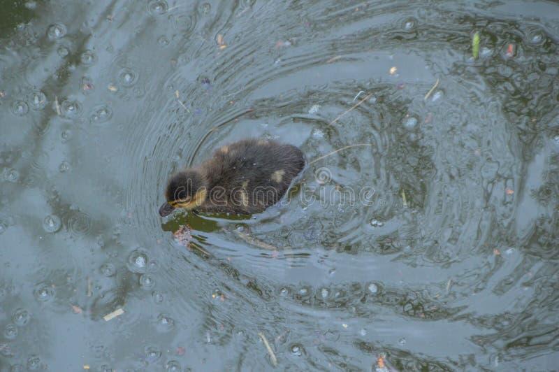 Πάπια μωρών που κολυμπά στο νερό στοκ φωτογραφία με δικαίωμα ελεύθερης χρήσης