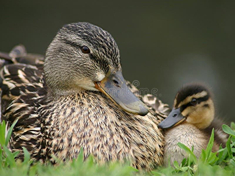 πάπια μωρών το mamma της στοκ φωτογραφία με δικαίωμα ελεύθερης χρήσης