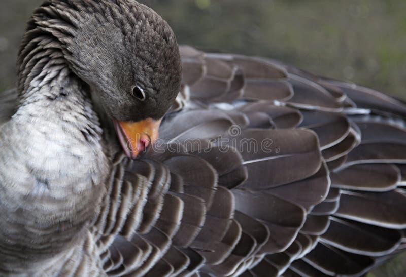 Πάπια που γυαλίζει τα φτερά του στη Βουδαπέστη στοκ εικόνες