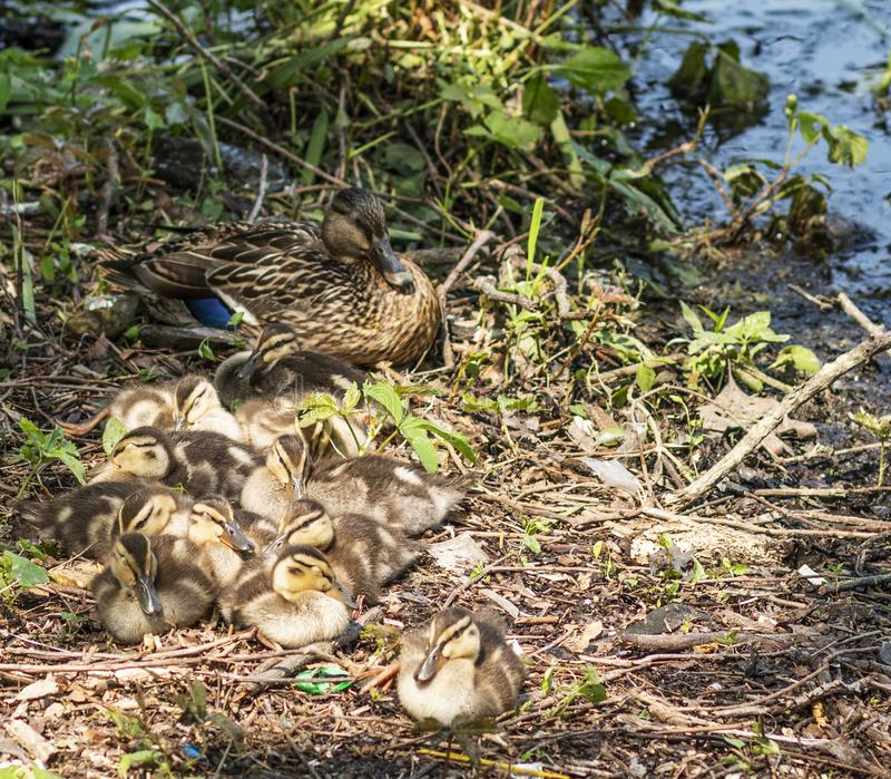 Πάπια πρασινολαιμών με την όχθη της λίμνης ένδεκα νεοσσών της στον ήλιο στοκ εικόνες