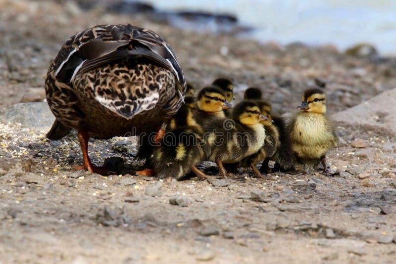 Πάπια πρασινολαιμών μητέρων με τους νέους νεοσσούς στοκ φωτογραφία με δικαίωμα ελεύθερης χρήσης