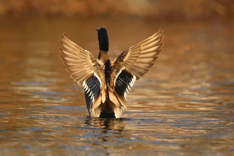 Πάπια πρασινολαιμών που χτυπά τα φτερά του το φθινόπωρο στο σούρουπο στοκ εικόνες με δικαίωμα ελεύθερης χρήσης
