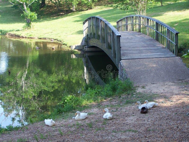 Download πάπιες γεφυρών στοκ εικόνα. εικόνα από ζεύγος, φύση, πάπια - 121869