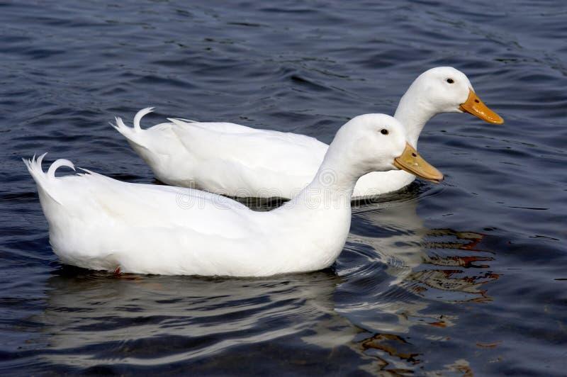Download πάπιες δύο λευκό στοκ εικόνες. εικόνα από άσπρος, φτερά - 115028