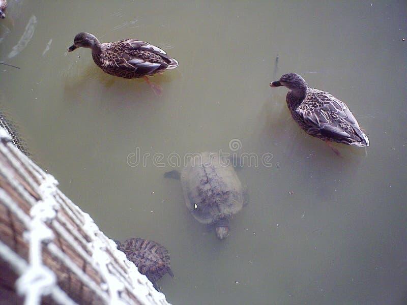 Πάπιες και χελώνα, που απολαμβάνουν το νερό στοκ φωτογραφία με δικαίωμα ελεύθερης χρήσης
