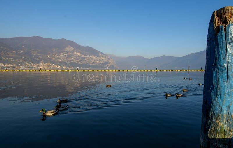 Πάπιες λιμνών στοκ εικόνες