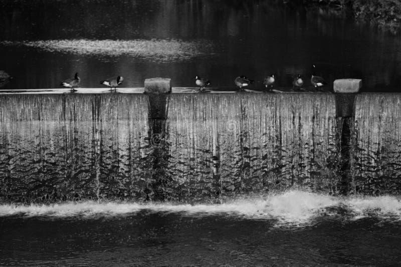 Πάπιες που παρατάσσονται σε μια σειρά τα φθινόπωρα πικρίας - ΟΧΑΙΟ - ΗΠΑ στοκ φωτογραφία