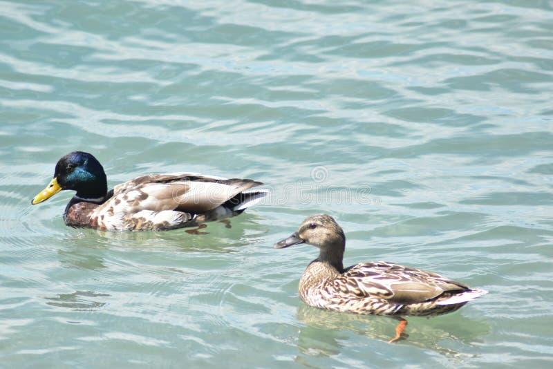 Πάπιες που στηρίζονται στη λίμνη Γενεύη στην Ελβετία στοκ φωτογραφία με δικαίωμα ελεύθερης χρήσης