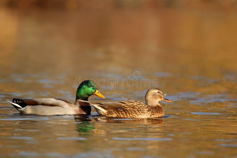 Πάπιες πρασινολαιμών που κολυμπούν το φθινόπωρο στο σούρουπο στοκ εικόνες
