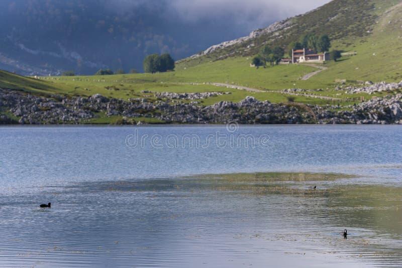 Πάπιες στις λίμνες της Covadonga στοκ φωτογραφίες