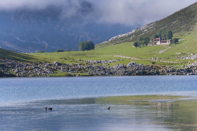 Πάπιες στις λίμνες της Covadonga στοκ φωτογραφία