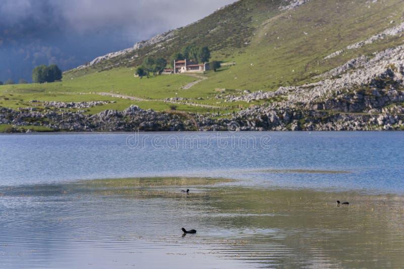 Πάπιες στις λίμνες της Covadonga στοκ εικόνες