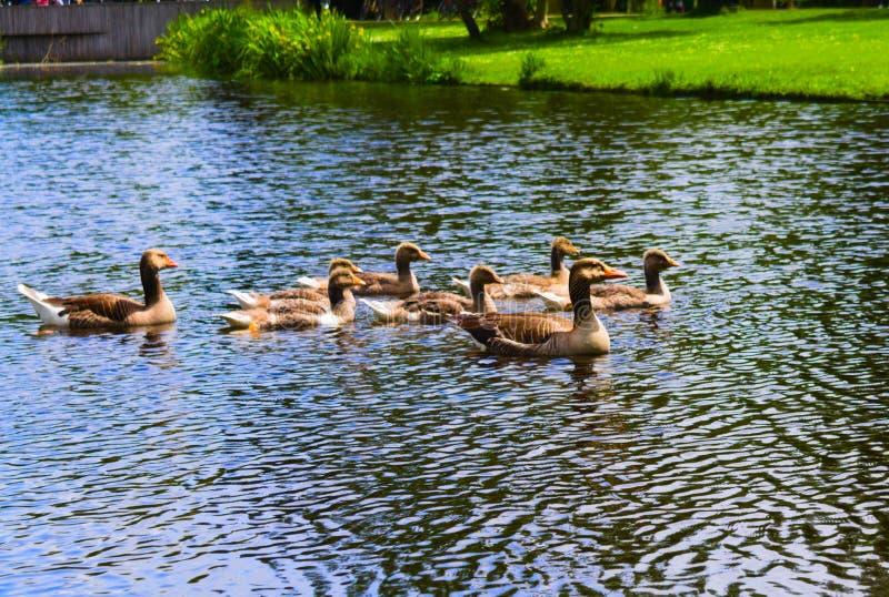 Πάπιες στο vondelpark που κολυμπά στο κανάλι στοκ εικόνα με δικαίωμα ελεύθερης χρήσης