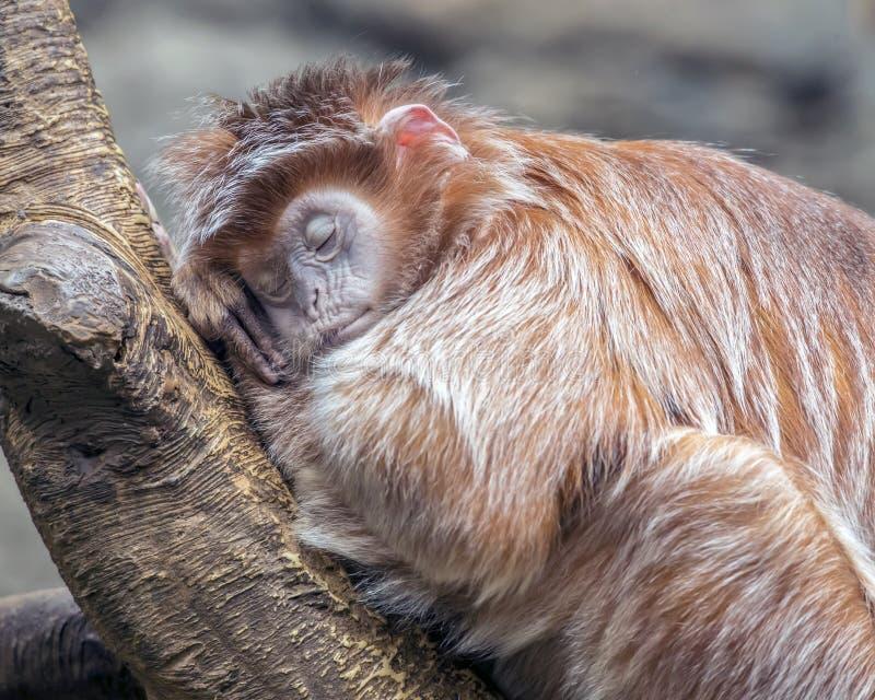 Πάρα πολύ κουρασμένος για την επιχείρηση πιθήκων στοκ φωτογραφία με δικαίωμα ελεύθερης χρήσης