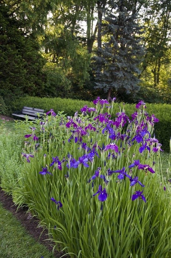 Πάρκο δεκατέσσερα της Elizabeth - όμορφες ίριδες στοκ φωτογραφία με δικαίωμα ελεύθερης χρήσης