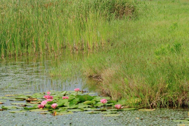 Πάρκο λιμνών κρίνων νερού στοκ φωτογραφίες