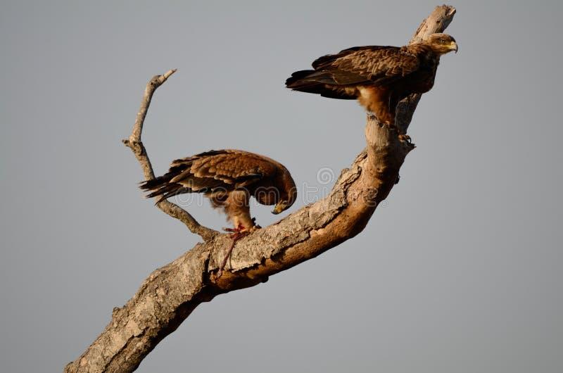 Πάρκο Νότια Αφρική Kruger δύο καστανόξανθο αετών στοκ φωτογραφία