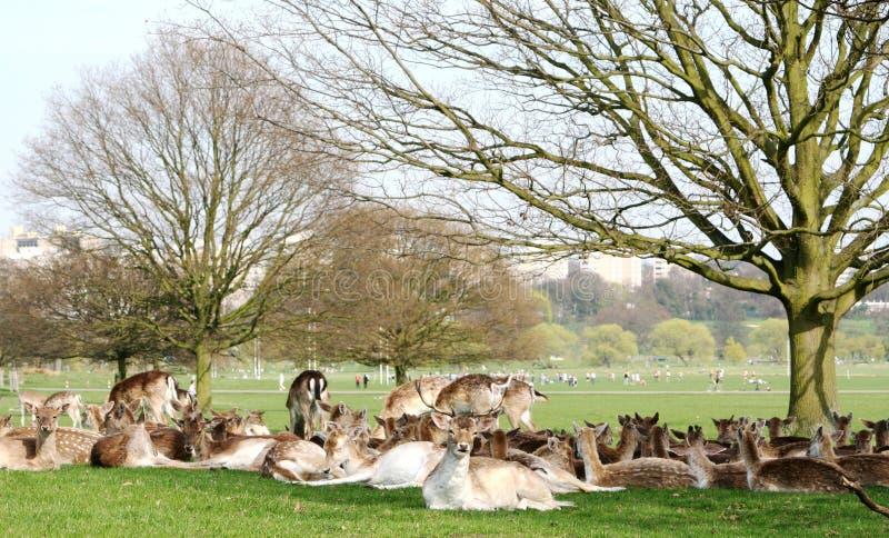 πάρκο Ρίτσμοντ ελαφιών στοκ εικόνα με δικαίωμα ελεύθερης χρήσης
