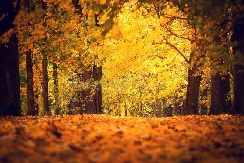 Πάρκο φθινοπώρου Φύση πτώσης Πορεία που καλύπτεται από τα κίτρινα κόκκινα φύλλα σφενδάμου στοκ εικόνα με δικαίωμα ελεύθερης χρήσης