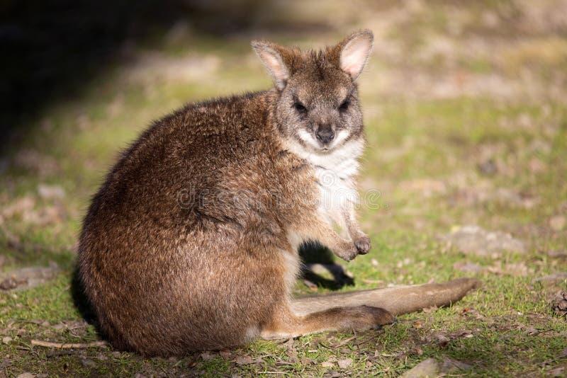 Πάρμα wallaby, Macropus Πάρμα, είναι μεταξύ των μικρών καγκουρό στοκ φωτογραφία με δικαίωμα ελεύθερης χρήσης
