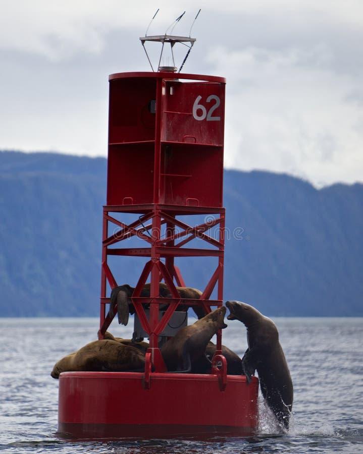 Πάλη λιονταριών θάλασσας στοκ εικόνες