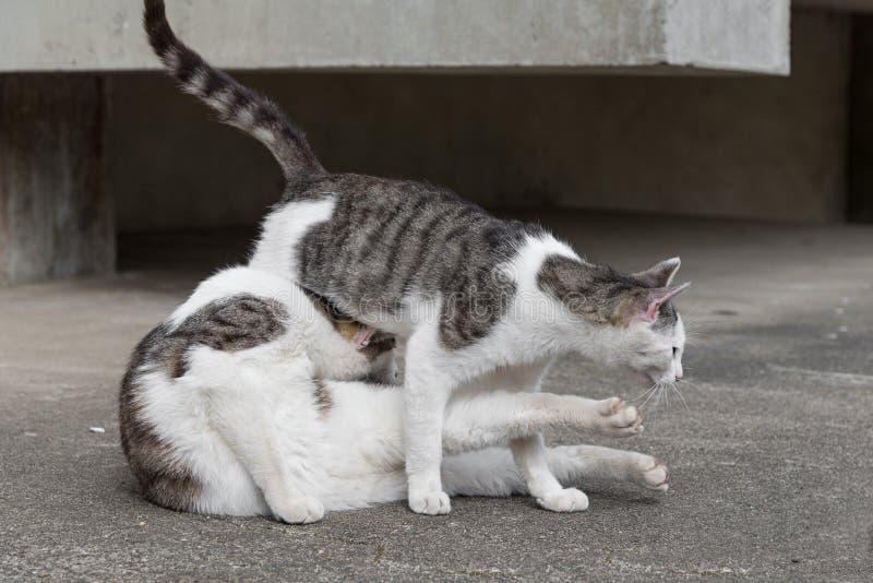 Πάλη μεταξύ των chubby γατών στοκ εικόνες